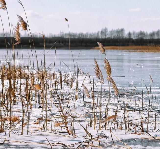 Invasive phragmites grass survives winter