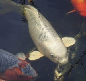 A large silver koi in a pond with several other koi