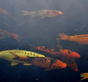 Many koi swimming in a pond during winter