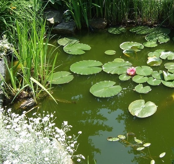 Fertilizer runoff in pond turns the water green from algae