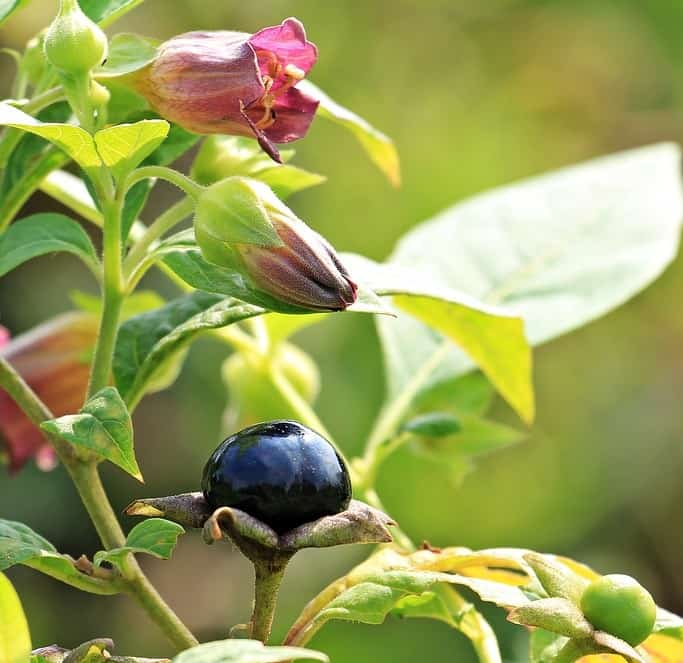 Deadly nightshade is toxic to people, wildlife, and fish