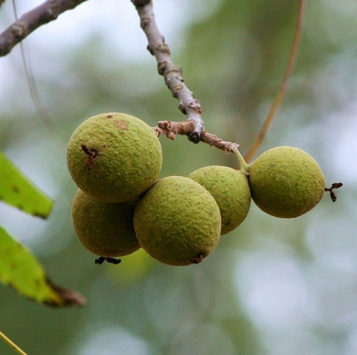 Black walnut juglone toxin toxic to fish
