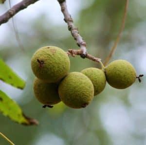 black walnuts toxic fruit