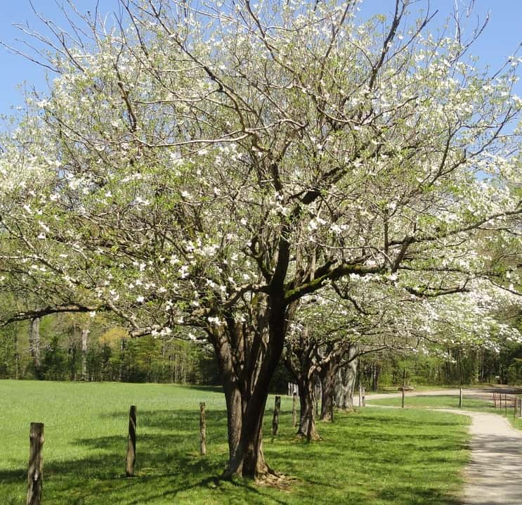 A white flowering dogwood tree in bloom