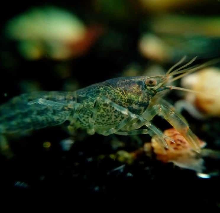 benthic feeders shrimp crustacean