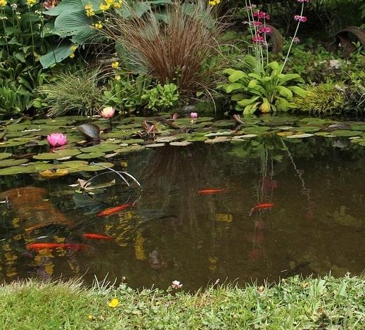 Orange and red koi fish wildlife pond plant pond fish pond
