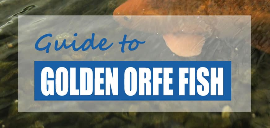 Golden Orfe Facts & Care Guide