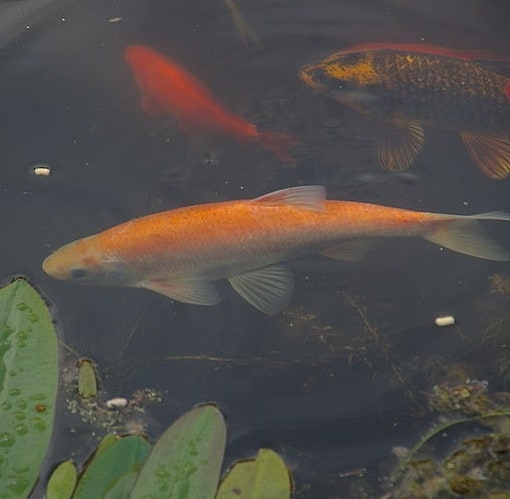 Several adult orfe in a pond