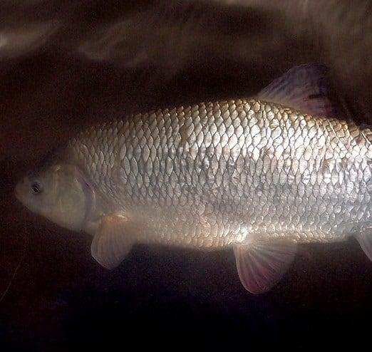 silver wild orfe fish