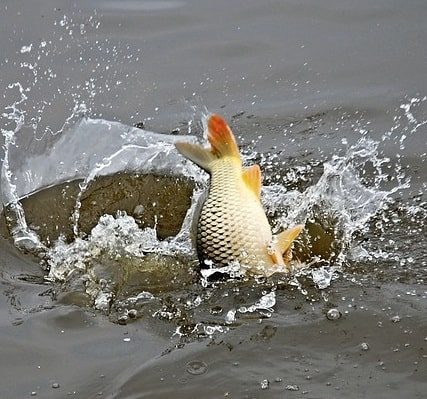 Golden orfe jumping in a pond