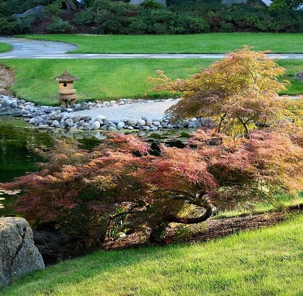 Japanese maple tree invasive