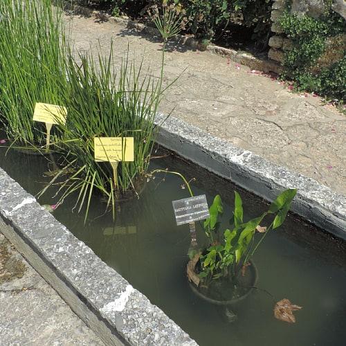 Broadleaf arrowhead pond plant in a pot