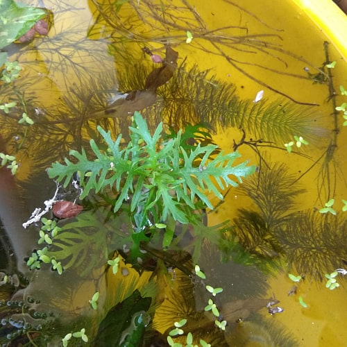 Water wisteria submerged in water