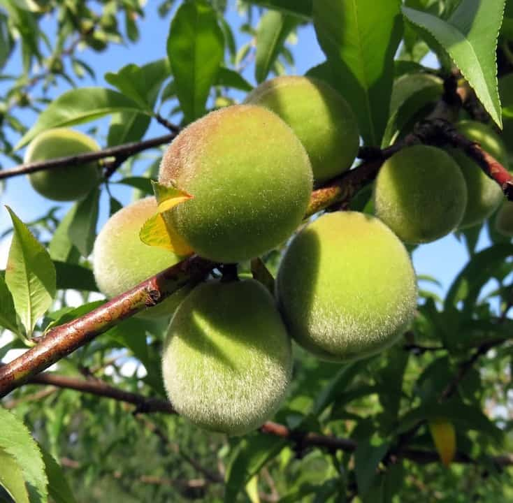 Peach prunus genus toxic to fish