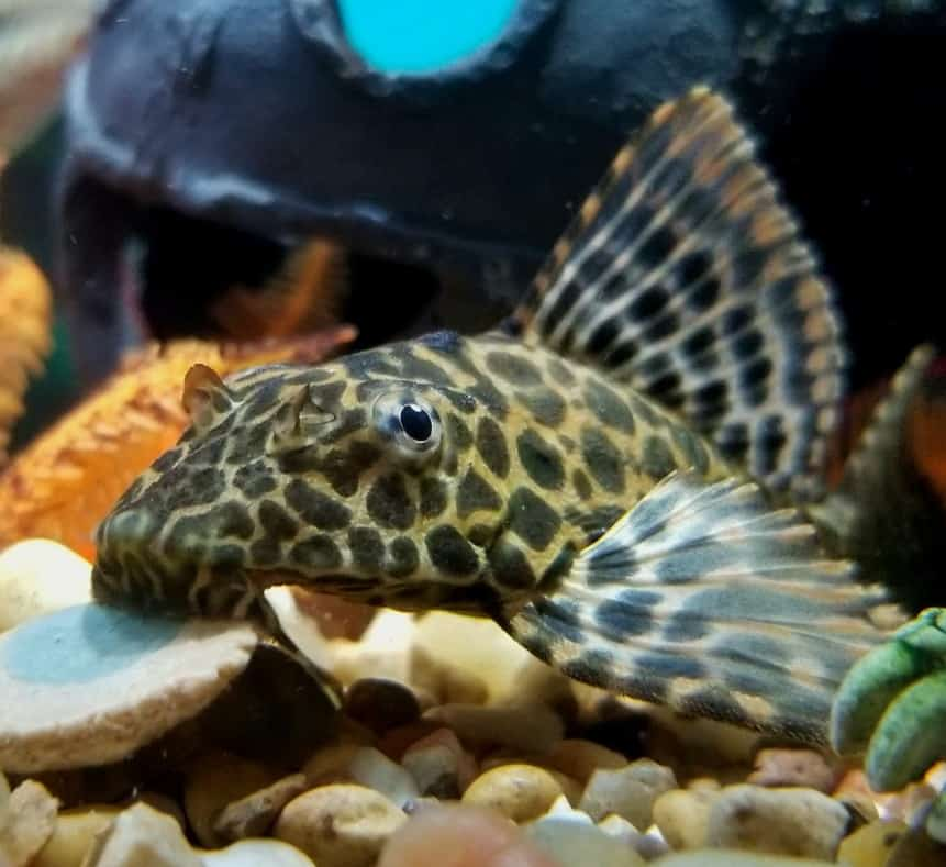 Can Plecos Live In Outdoor Ponds? (Cold Water & Plecos