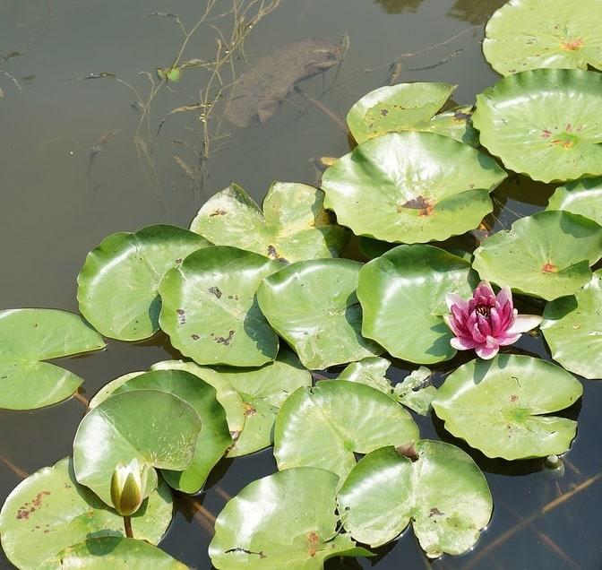 Pond plants water lotus soak up excess nutrients