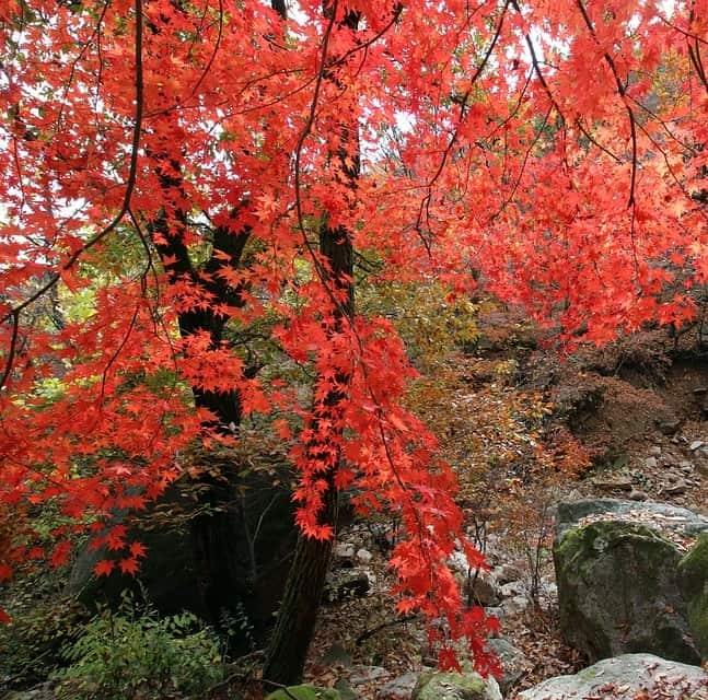 A red maple thrives in moist soil near a pond