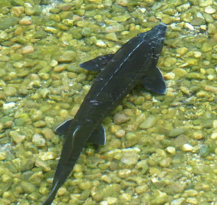 A juvenile lake sturgeon