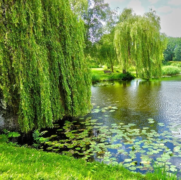 willow trees around a pond help stabilize the bank