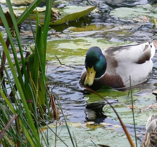 A male mallard duck in a pond with floating and marginal plants