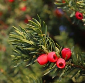 Needles and seeds of yew trees are toxic to fish