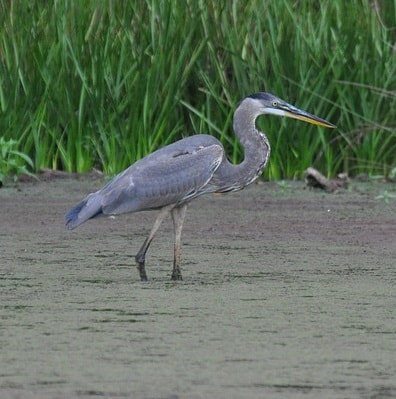 a heron may eat goldfish and koi