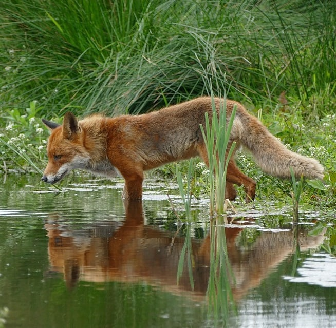 A red fox drinking from a pond