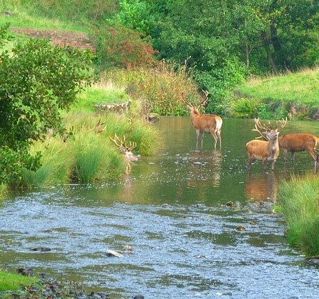 A meadow stream pond with several deer drinking and cooling off