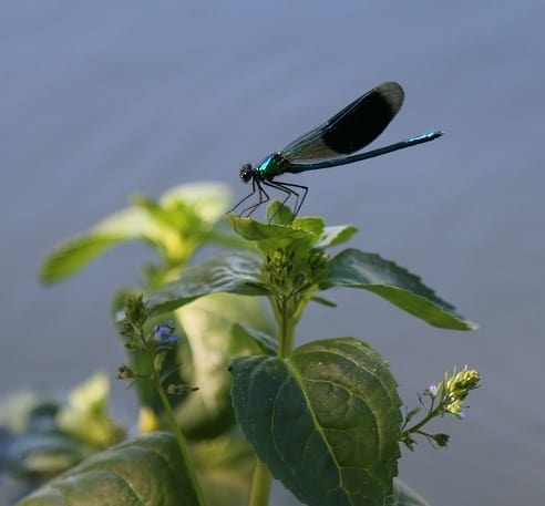 A damselfly by a pond provides food for birds