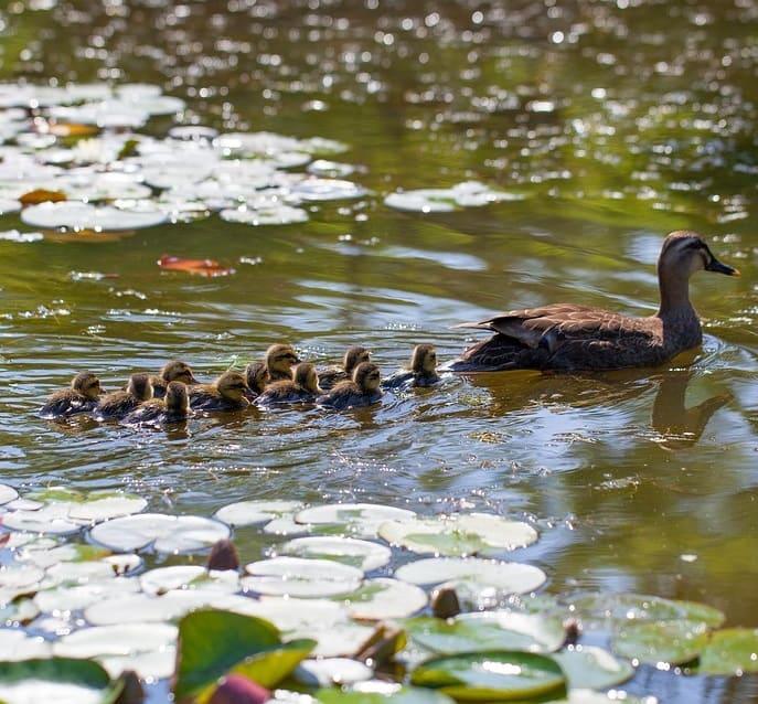 Duck rearing ducklings in a garden pond