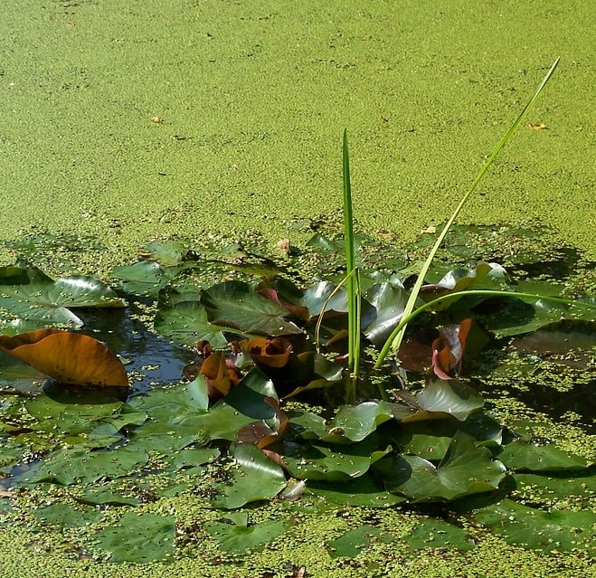 Guide to Copper Sulfate for Ponds & Lakes (Where to Buy) - Pond Informer