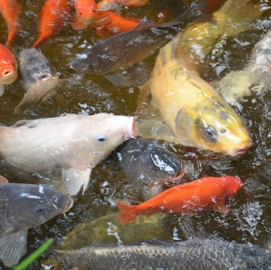 A pond with many fish benefits from a pump