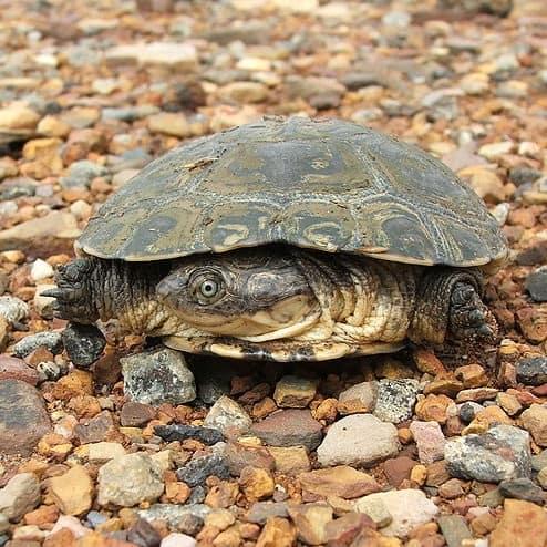Freshwater pond turtle African sideneck turtle