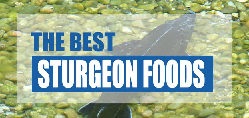 Best Sturgeon & Sterlet Fish Food