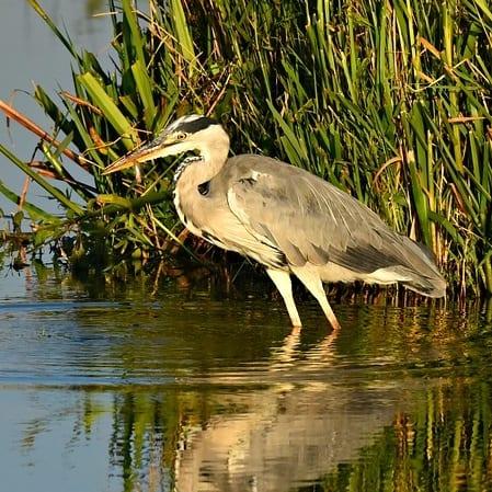 Herons prey on fish in ponds