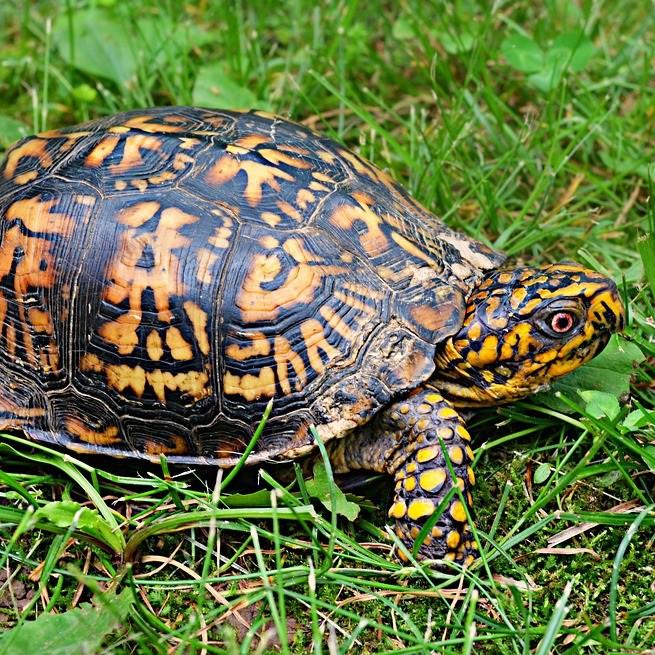 Box turtles for koi goldfish garden pond