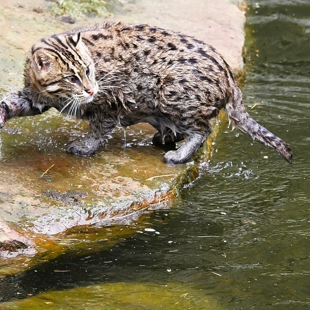 Domestic and feral cats can catch fish in ponds