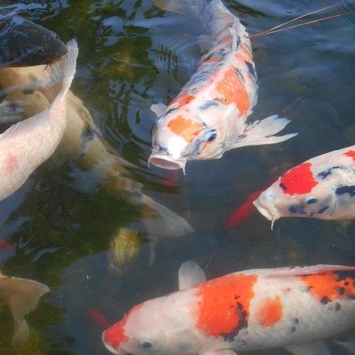 Several white, orange, and red koi carp in a pond