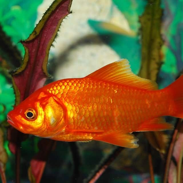 Common goldfish do well in most outdoor ponds