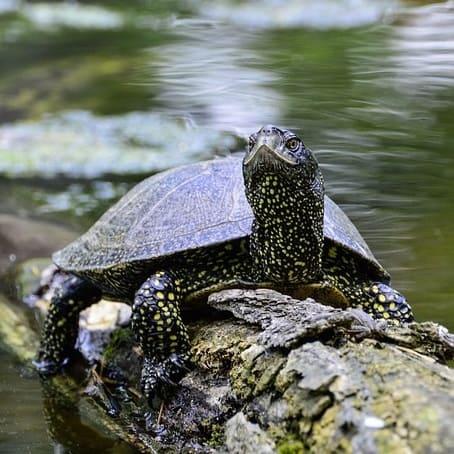 European pond terrapin freshwater turtle for pond