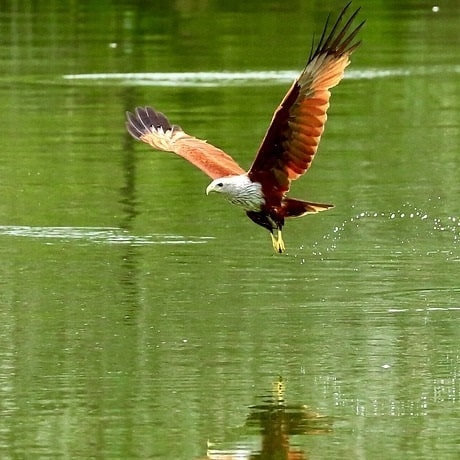 eagles, hawks, and owls may prey on pond fish how to naturally determ raptors from ponds