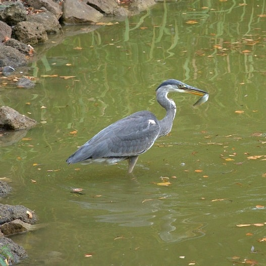 Great blue heron pond predator deterrent