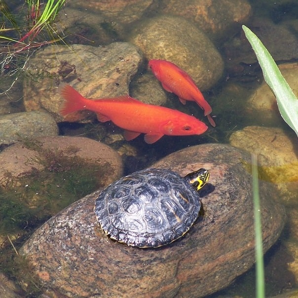 yellow-bellied slider in a fish pond