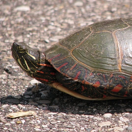 Painted turtles make good additions to fish ponds