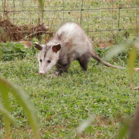 Opossums possums have poor eyesight and don't pose much threat to pond fish