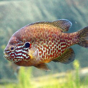 A colorful pumpkinseed fish in a pond