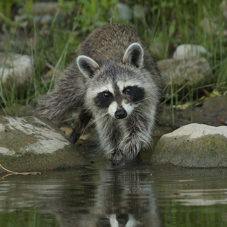Raccoons are excellent fishers how to deter raccoons from ponds