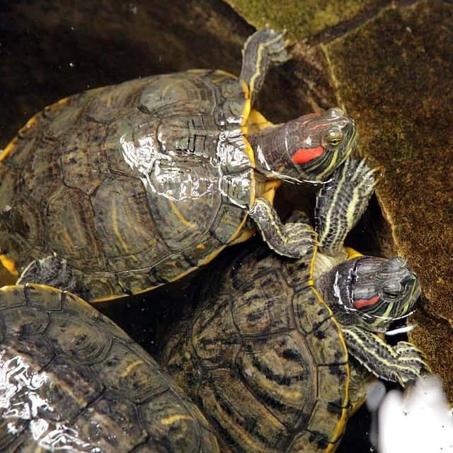 red eared sliders terrapins in a garden pond
