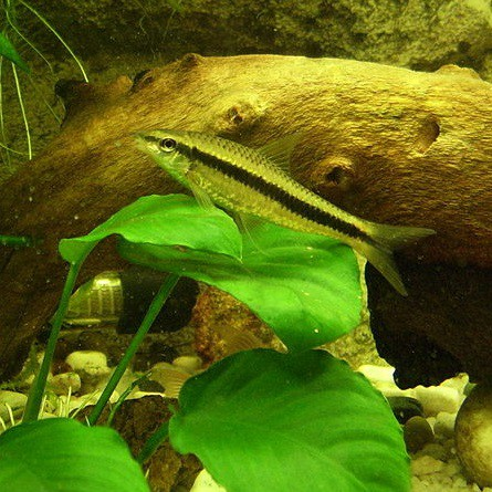 Siamese algae eaters make energetic additions to ponds