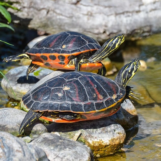 Freshwater turtles for fish ponds